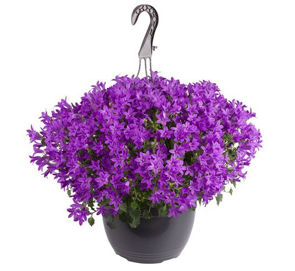 Campanula Royal Blue