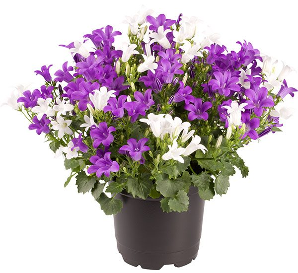 Campanula Royal Multi