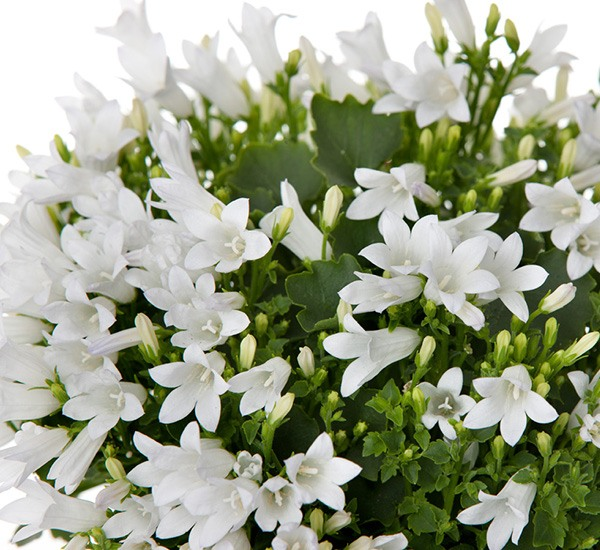 Campanula Royal White